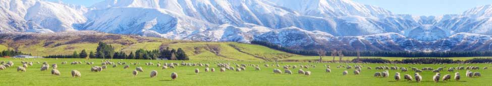 Leading importer of Quality New Zealand and Australian lamb, goat and mutton.